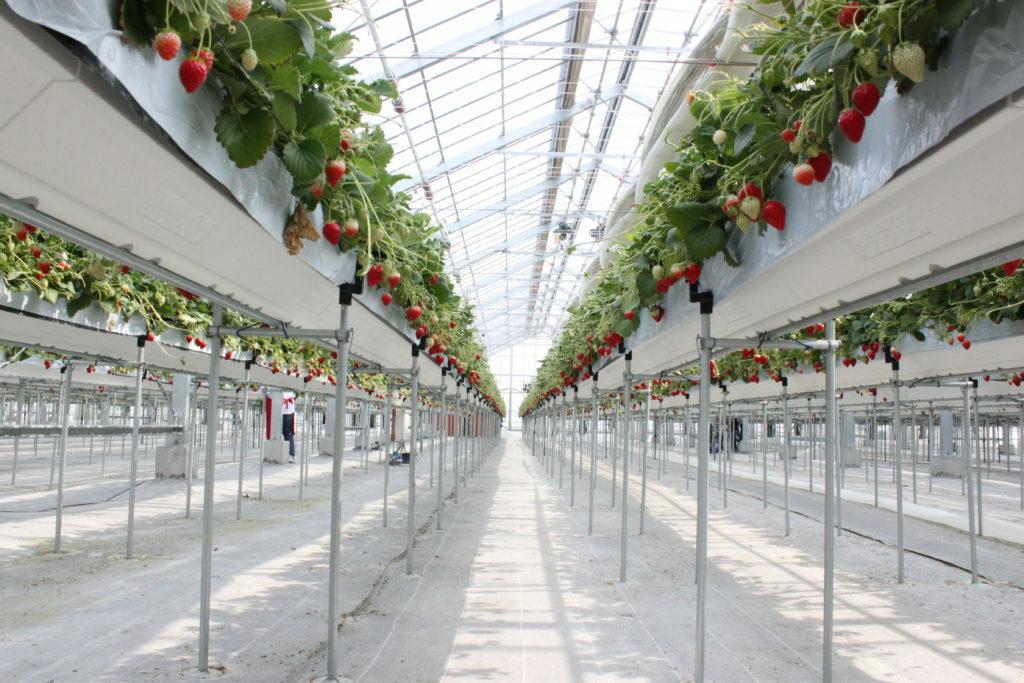 Miyagi Prefecture Yamamoto-cho MIGAKI ICHIGO Strawberries