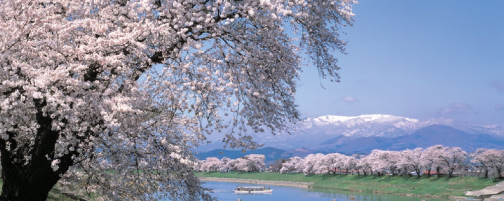Thousand Cherry Trees at Sight